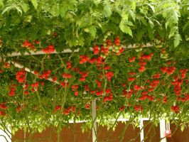 Tomatoes by Agatje