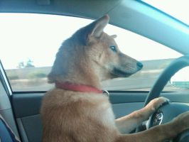 Driving Shiba by ForrestFoxes