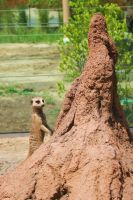 Meercat on the Alert by KCJoughDoitch