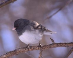 Junco by dove-51