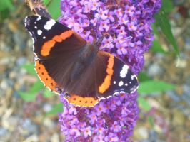 Red Admiral by desertrose2011