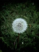 Dandelion by Drummyralf