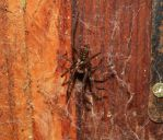 Large House Spider by r-ehr