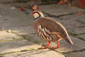 Partridge 1 by RixResources