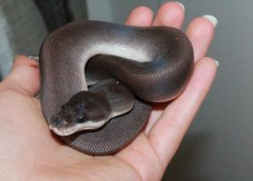 Ball Python Super Cinnamon by Aroruusu