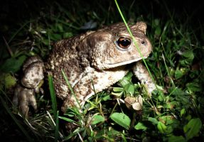 Common toad on grass 2 by RLPhotographs