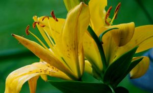 Yellow Day Lilies 2 by EyesofaDiamond
