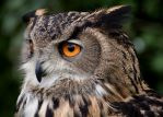 Bubo Bubo, up close by FurLined