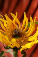 Sunflower on a sunny day. by wulliamwallace