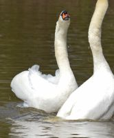 Swans 2014 1 7 by melrissbrook