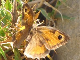 Meadow Brown Butterfly by Maltese-Naturalist