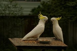 Sulphur-Crested Cockatoo 5 by FallowpenStock