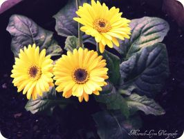 3 flowers by MariahLynnPhotograph