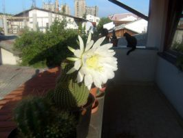 Argentine giant  echinopsis candidans 2 by CactusThorns