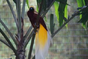 Male lesser bird of paradise by Roses-and-Feathers