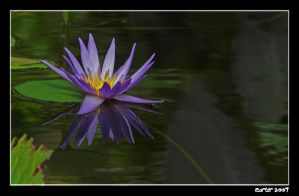 Waterlily IV by carterr
