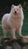 Samoyed by razornl