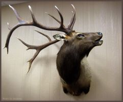 Bugling Bull Elk by WeirdCityTaxidermy
