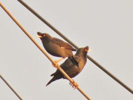 Acridotheres tristis - Common Mynas by Oddity-1991