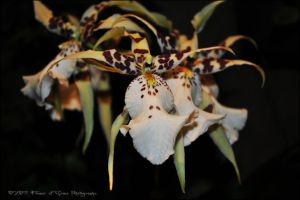 Phalaenopsis Orchid by Flower-of-Grace
