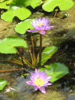 Water Lillies 2577 by fa-stock