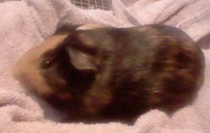 New Guinea Pig: Snickers! by SNlCKERS