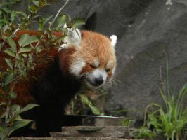 Angry Face- Red Panda by SelexiaOfTheHeart