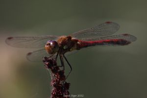 Red Dragonfly by DAZZY-P