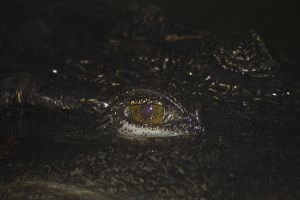 Siamese Crocodile 2 by S-H-Photography
