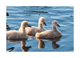 Cygnets by Cameron-Jung