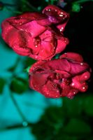 colorful roses by tashanzac