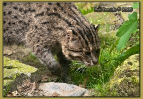 Fishing Cat by Mellon-001