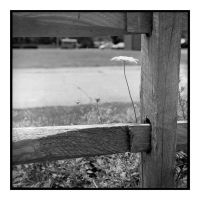 2015-216 Queen and fence by pearwood