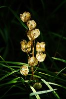 Spotlit Seed Pods... by EarthHart