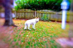 White German Shepherd I by LDFranklin