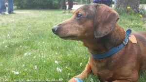 Dignified Dachshund by J-Mobius