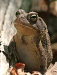 Fowler's Toad 20D0026432 by Cristian-M