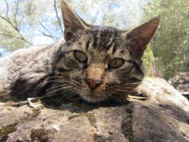 Wild Cat in Italy by Niutellat