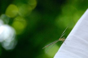 Dragonfly by marialivia16