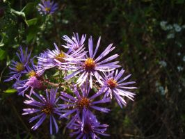 Sunlit Aster by Pentacle5