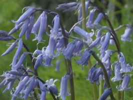 Bluebells by YesIamEccentric