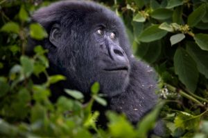 Mountain Gorilla 7 by catman-suha