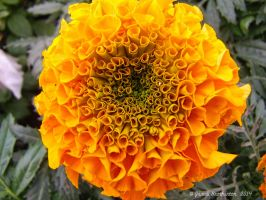 African Marigold by jim88bro