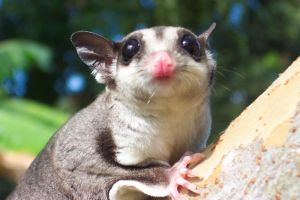Sugar Glider by Pillowshade