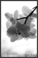 Orchid Black and White by simoner