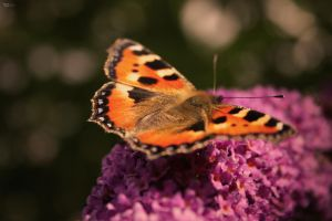 Butterfly by TietzeDesign