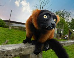 Red Ruffed Lemur by Estruda