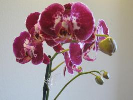 085. Orchid by mynti-stock