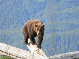 Brown Bear 2 by prints-of-stock