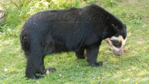 Spectacled Bear. by Rabid-Coot